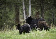 Spring Black Bear Sow and Cub