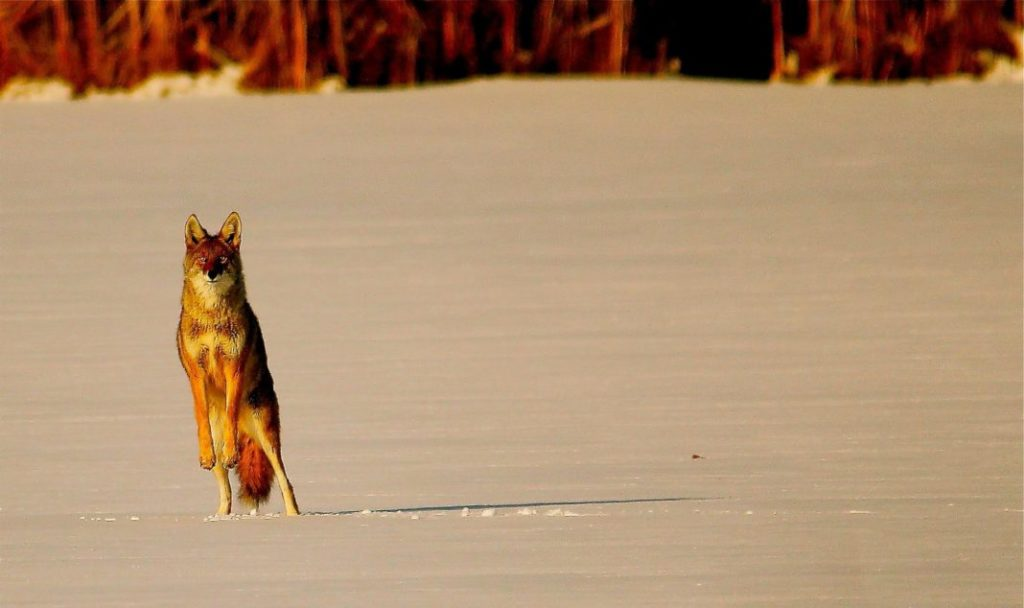 6 Useful Coyote Hunting Tips | Hunting Magazine