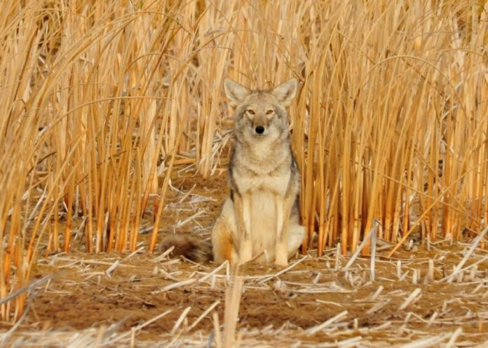 6 Useful Coyote Hunting Tips For Beginners | Hunting Magazine