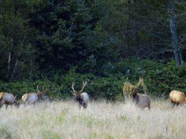 Oregon Drone Elk Surveys