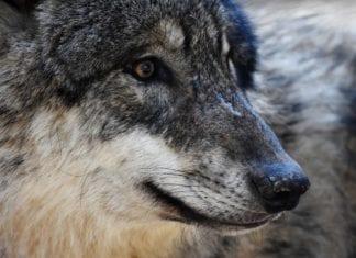 Wolf Plan