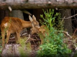 Mother Deer with Fawn