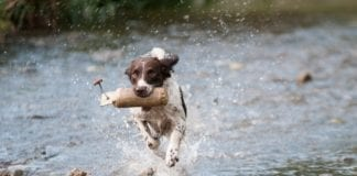 Preparing Your Gun Dog For The Hunt
