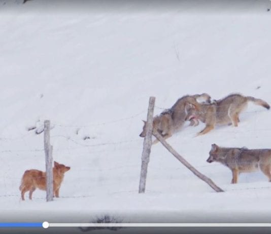 Pet Dog Chased and Attacked by Pack of Wolves