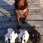 2012 Photo of Duke the family dog. Duke has been hunting since a pup. The Eider Ducks shot with a Benelli 12 Gauge Shotgun