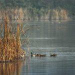 Ducks | Hunting Magazine