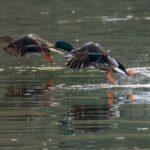 Mallard Ducks | Hunting Magazine