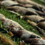 Duck Hunting Trip in Austria