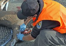 USFWS Midwest Region | Bio Tech Eric Tomasovic samples deer for Cronic Wasting Disease.