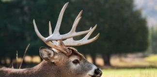 Whitetail Deer Buck During Rut