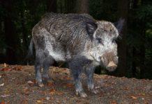 wild boar pig hunting
