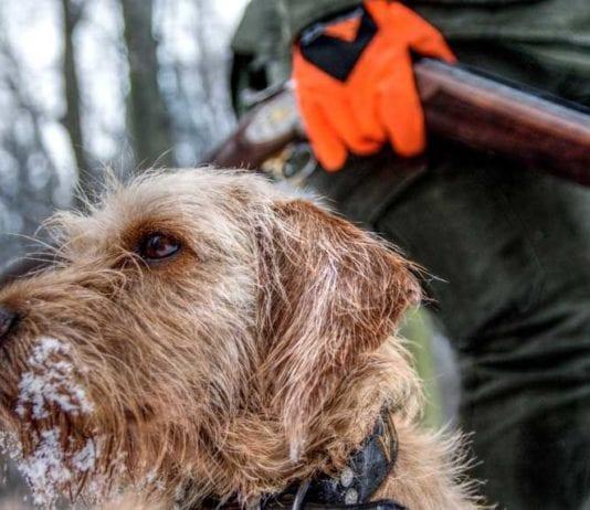 Basset Hound with Hunter