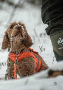 Basset Hound Looking up a Hunter
