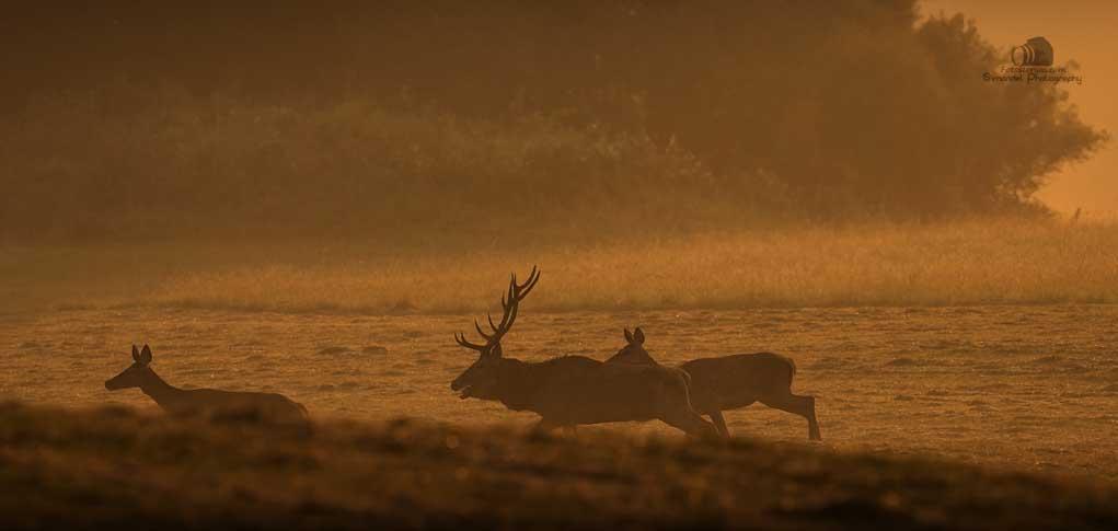 Slovakia Red Deer Running