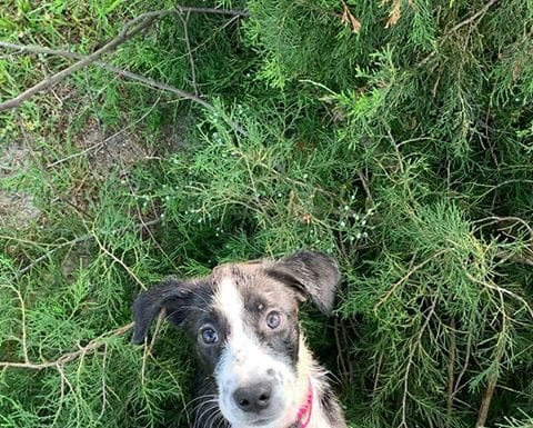 Fan Photos: English Pointer Puppy. Named - Mercy | Hunting Magazine