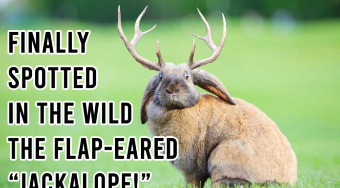 "Funny Deer Hunting Meme: Finally Spotted in the Wild the Elusive Flap-Eared ""Jackalope"" in the Wild! 