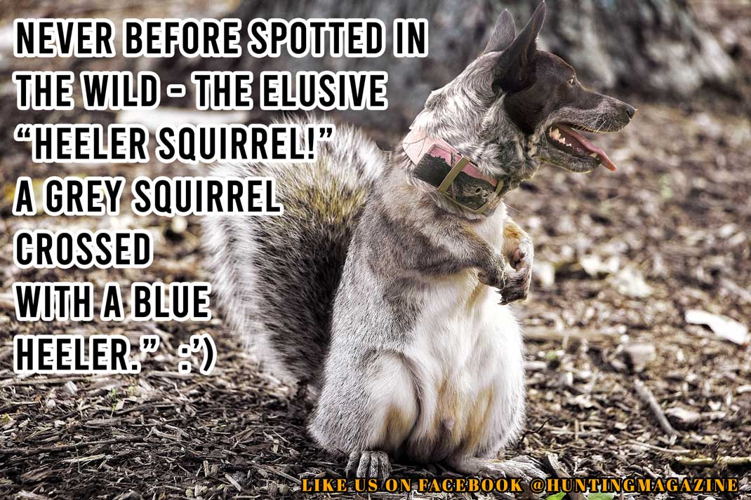 "Never before spotted in the wild - the elusive ""Heeler Squirrel!"" A Grey Squirrel crossed with a Blue Heeler."" :')"