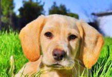 hunting dog puppies (15)